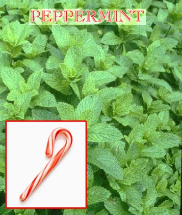 Peppermint, which grows like a weed